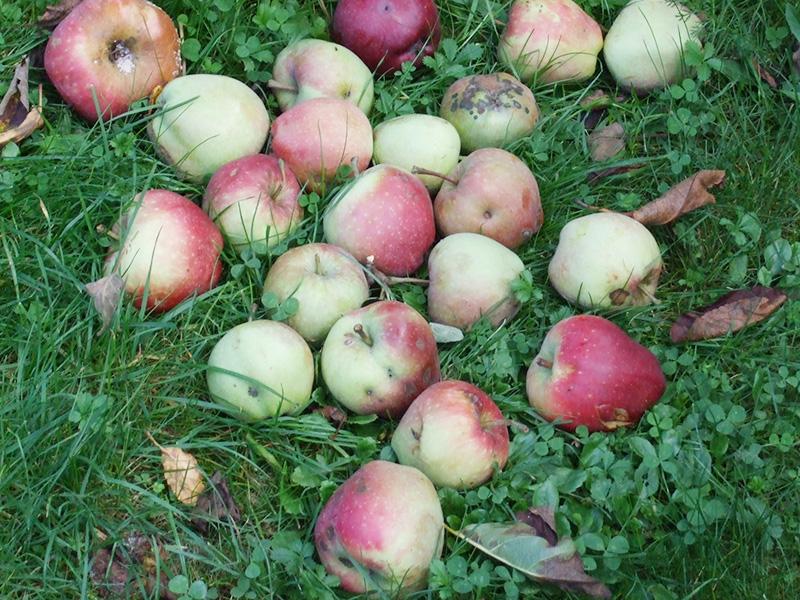 ジベルニー、公園で見つけたリンゴ