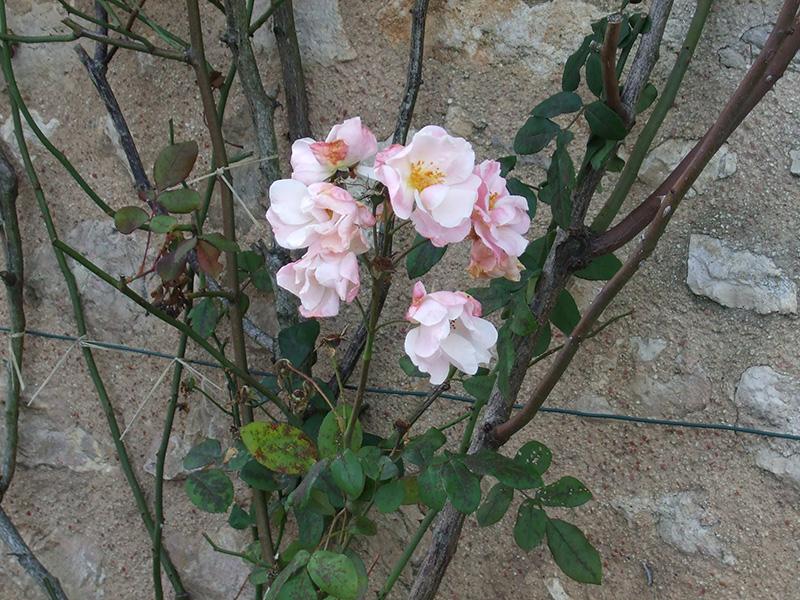中世の商業中心地・プロヴァンに咲くバラの花